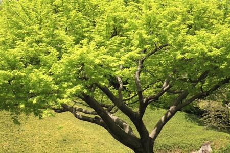 acer: Fresh green of Acer palmatum