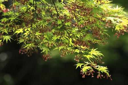 acer palmatum: Acer palmatum flowers