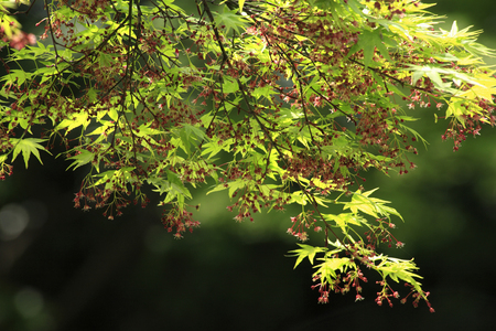 acer: Acer palmatum flowers