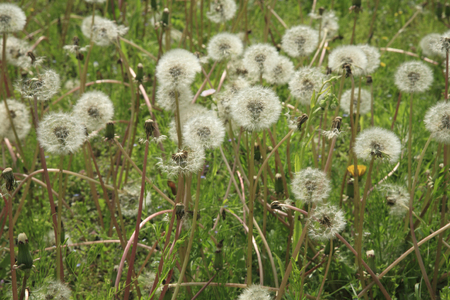 tage: Feathers of dandelion