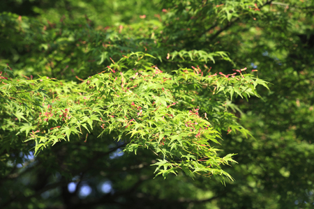 acer palmatum: Seeds of Acer palmatum