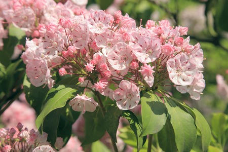 laurel mountain: Kalmia