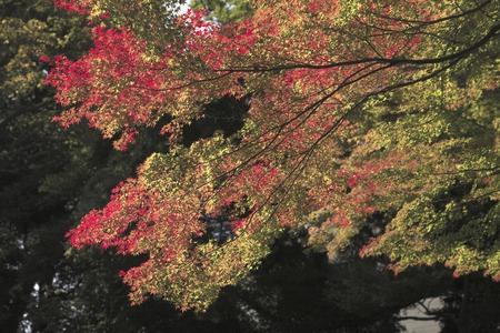 acer palmatum: Autumn leaves of Acer palmatum