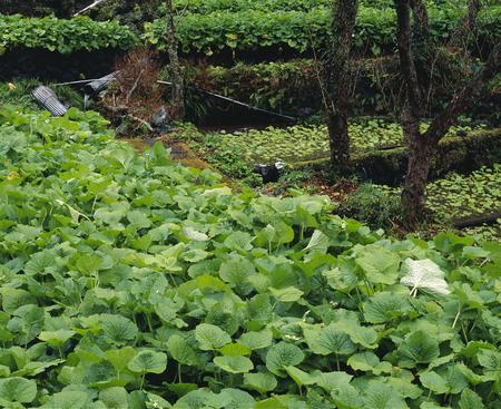 wasabi: Wasabi fields