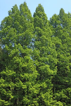 metasequoia: The fresh green of Metasequoia