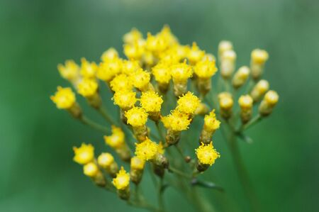 angustifolium: Flowers and plants Stock Photo