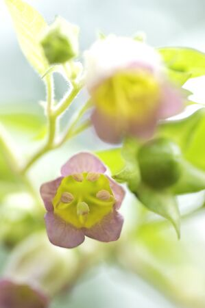 belladonna: Flowers and plants Stock Photo
