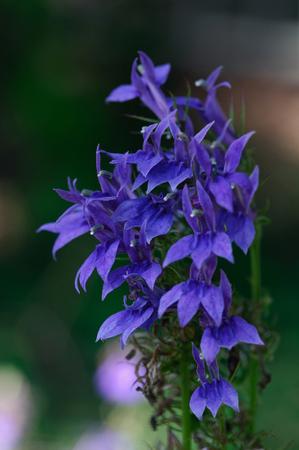 lobelia: Flowers and plants Stock Photo