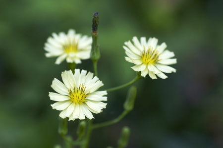 lactuca: Flowers and plants Stock Photo