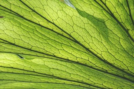platycerium grande: Plant leaf Stock Photo