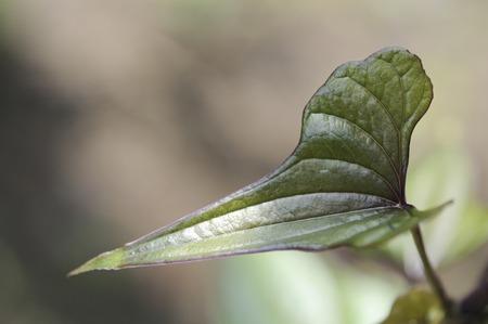 chinese yam: Leaves of yam