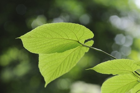 lingua: Pyrrosia lingua maple leaf