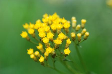 angustifolium: Flowers Stock Photo