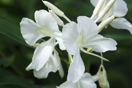 coronarium: Flowers Stock Photo