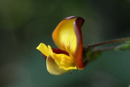 pigeon pea: Flowers and plants Stock Photo