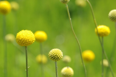 globosa: Flowers and plants Stock Photo