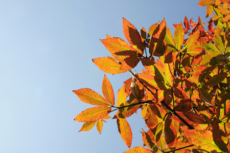 acer: Autumn leaves