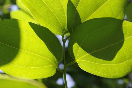 cinnamomum: Leaf