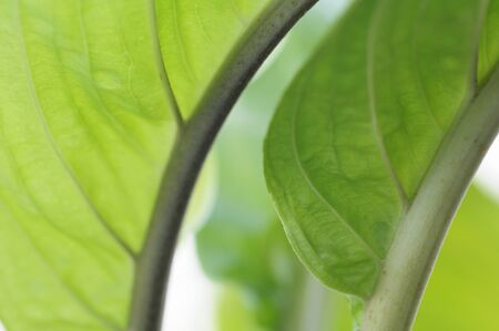 shunt: Leaf