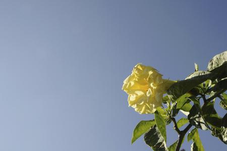 sen: Blue sky and Kida Zhou Sen morning glory Yellow flowers