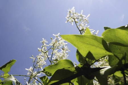 clematis: Blue sky and clematis flowers Stock Photo