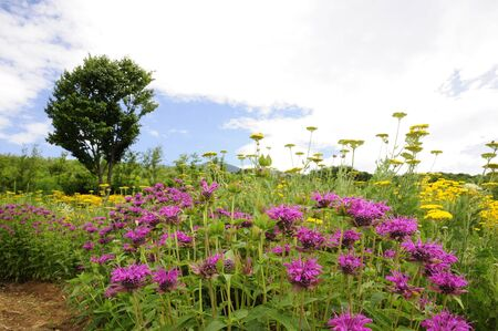 garden scenery: Herb flowers bergamot Stock Photo