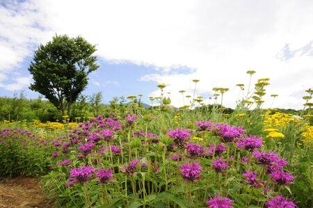 Kruid bloemen bergamot Stockfoto