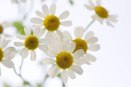 flower arrangements: Chamomile flower arrangements
