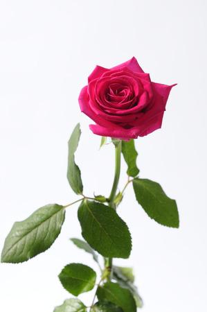 flower arrangements: Roses Flower arrangements