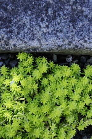 spp: Stone and sedum
