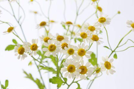 chamomile flower: Chamomile flower arrangements