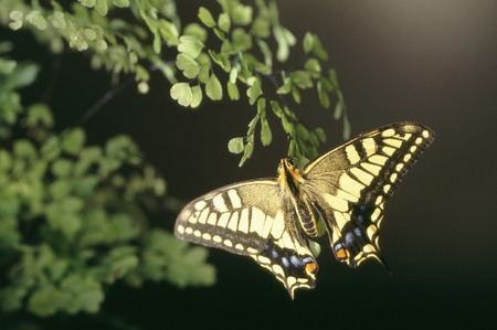 tam: The common yellow swallowtail in Asian Tam