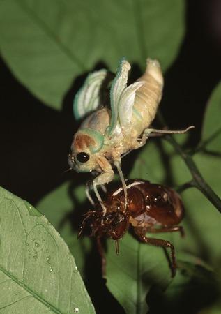 大きな茶色の蝉の出現