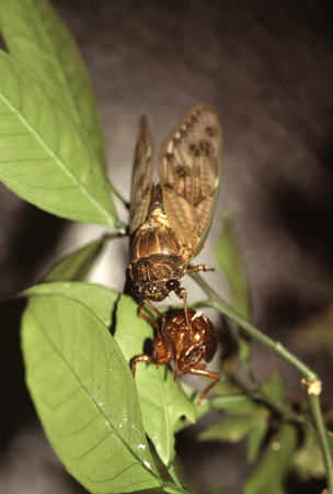 emergence: Emergence of large brown cicada Stock Photo