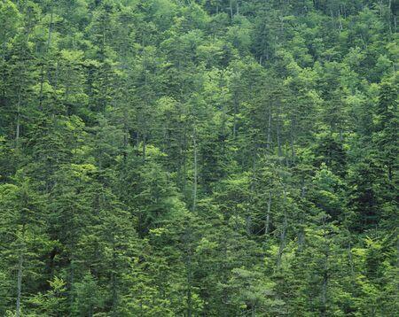 habitat: Horoman Pinus parviflora habitat