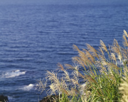 Japanese pampas grass and the sea Stock Photo
