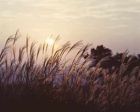 diluted: Sunset and Miscanthus sinensis Stock Photo