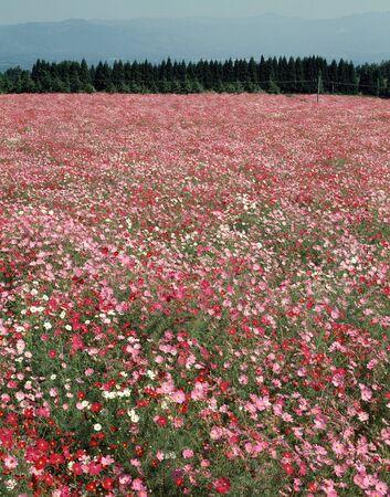 plateau of flowers: Ikoma Yamatakahara of cosmos Stock Photo