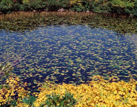 waterweed: Ozekouhone