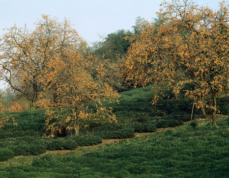 persimmon tree: Persimmon trees