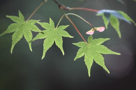 japanese maples: Acer palmatum