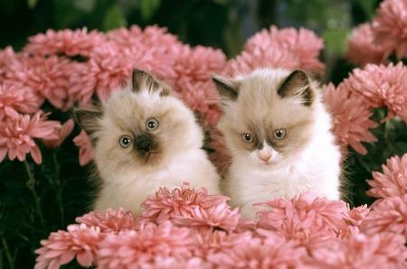 himalayan cat: Himalayan Persian