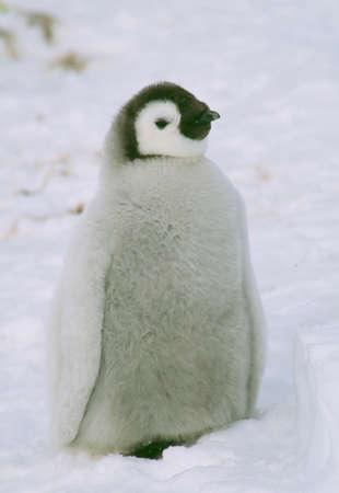 emperor: Emperor penguins
