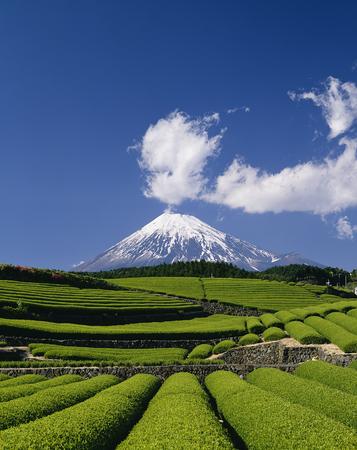 Fuji y plantaciones de té