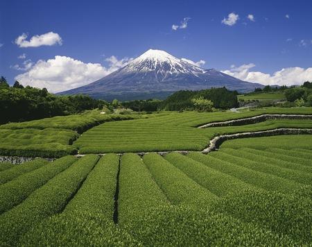 Fuji and tea plantations