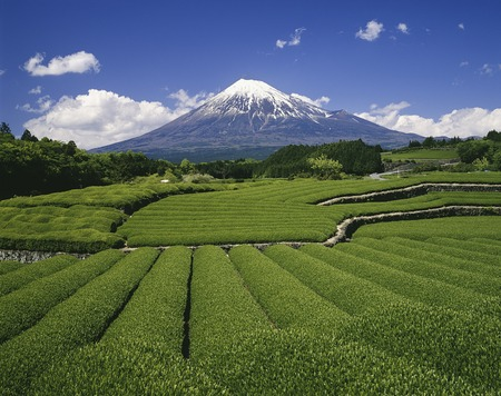 Fuji and tea plantations