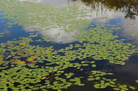 waterweed: Swamp