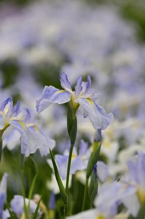 calamus: Acorus calamus Stock Photo