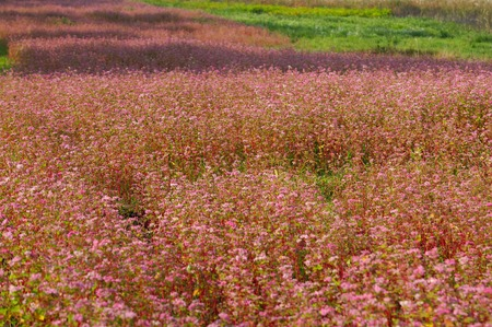 ou: Red buckwheat flowers