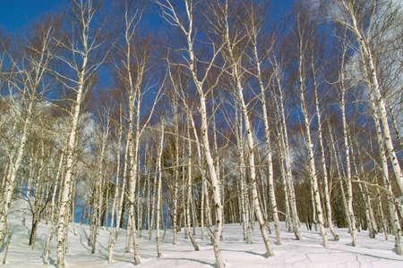 白樺の森 写真素材 - 46844796